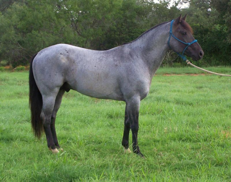 Blue Roan Paint For Sale In Tx